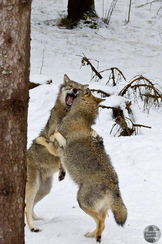 Scientifica Il Lupo Grigio Canis Lupus E Il Lupo Rosso Canis Pictures